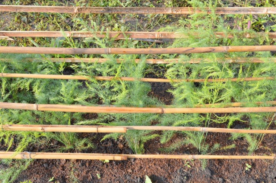 Growing Dill Outside
