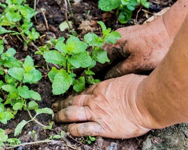 Growing Mint Outside