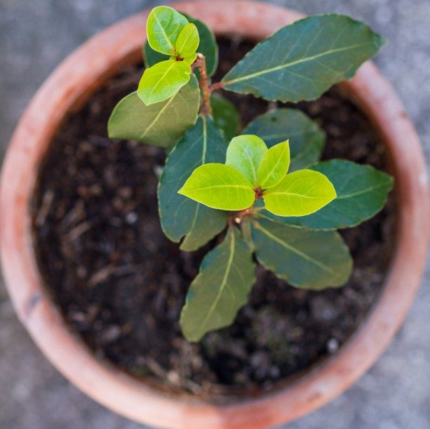 How to Care of Bay Laurel Plant