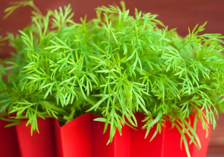 How to Grow Dill Easily