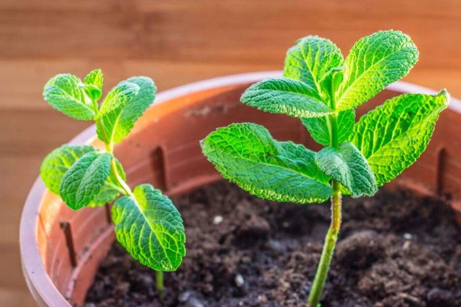 How to Grow Mint Easily