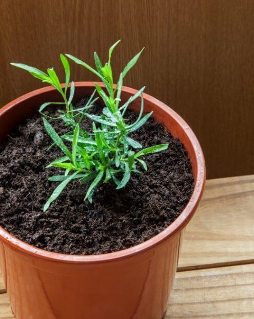 How to Grow Tarragon Easily
