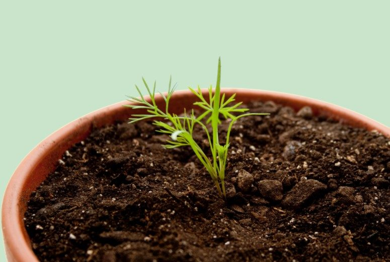 How to Plant Dill