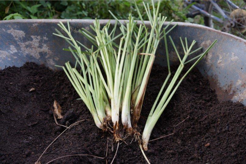 Lemongrass Stem